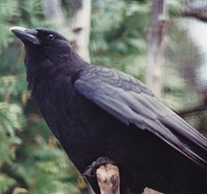 Ace, the Talking Crow